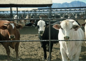 Climate Change - Feedlot